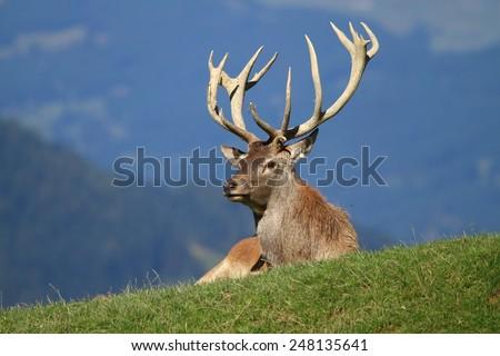 Deer having a rest - stock photo