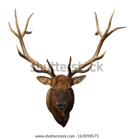 Deer Head with beautiful antlers isolated on white background - stock photo