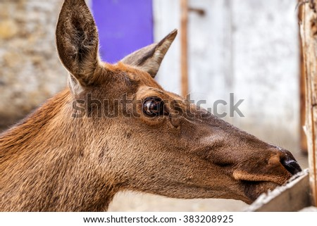Deer hunting in the paddock on a farm being treated. Family of deer in the spacious aviary zoo - stock photo