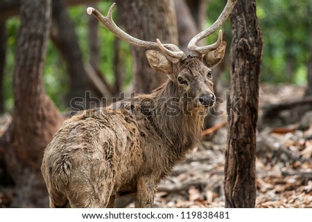 deer in chiangmai zoo Thailand - stock photo