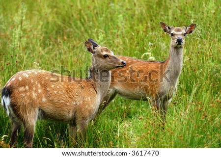 Deer in high grass