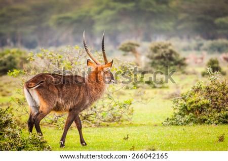 Deer in Kenya, Africa - stock photo