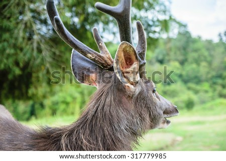 Deer in Khao Yai Park at Nakornratchasrima in Thailand - stock photo