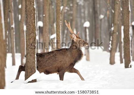 Deer in winter forest - stock photo