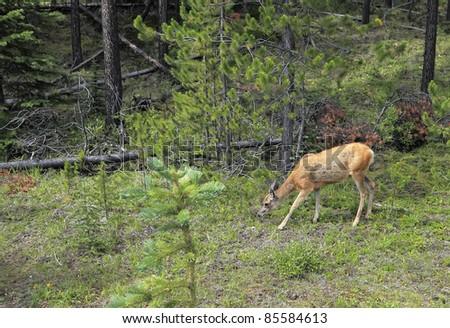 Deer in wood (Banff National Park, Alberta, Canada) - stock photo