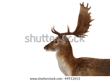 deer isolated on white - stock photo