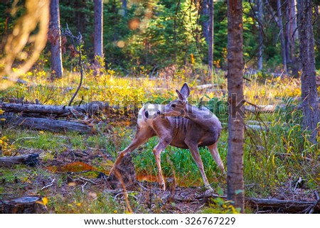 Deer looking backwards.  Yellowstone National Park, Wyoming. - stock photo