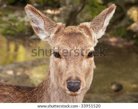 Deer Muzzle watching you - stock photo