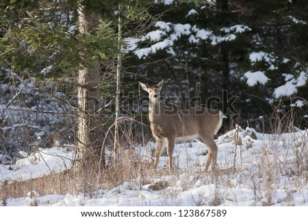 Deer next to snowy tree in winter near Hayden Lake, Idaho.