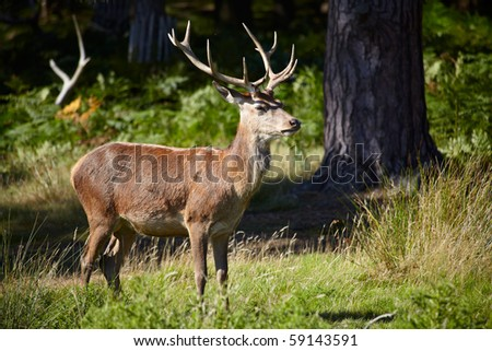 Deer on a forest margin