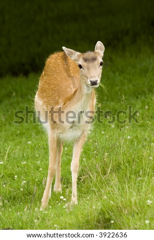 Deer on grass in meadow - portrait orientation