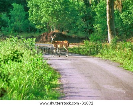 Deer on the road. - stock photo