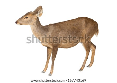 Deer on white background. - stock photo