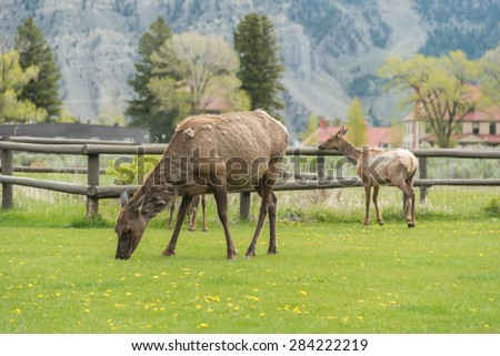 Deer or Elk standing on green grass in Yellowstone National Park, Wyoming USA - stock photo