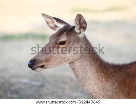 deer portrait - stock photo