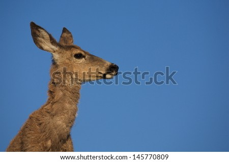 Deer portrait with blue sky background summer time Mule Deer doe close up profile with skinny neck - stock photo