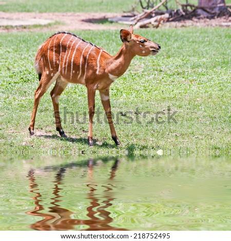 Deer reflected in water. - stock photo