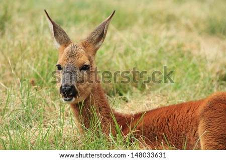 deer resting in the forest - stock photo
