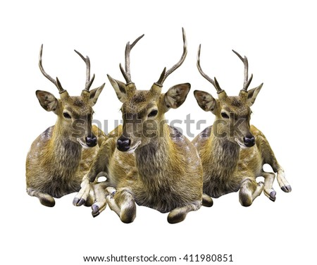 deer sika  isolated on white background clipping path - stock photo