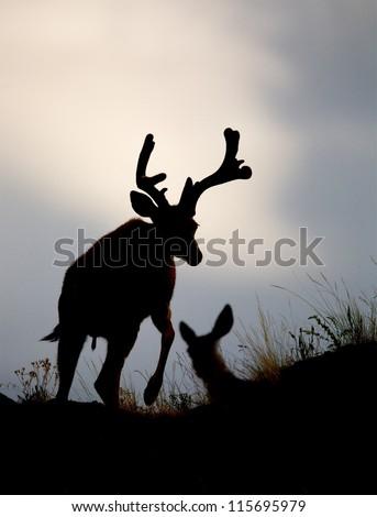 Deer Silhouette, stag buck walking with leg raised, with female doe in background; Mule Deer hunting season - stock photo