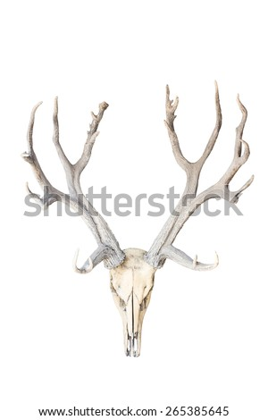 deer skull isolated on white background with clipping path - stock photo