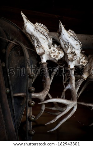 Deer Skulls hanging in a tack room. Deer skulls hang in the tack room of a horse outfitter in the Methow Valley of eastern Washington State. - stock photo