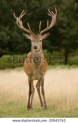 Deer Stag Head-on - stock photo