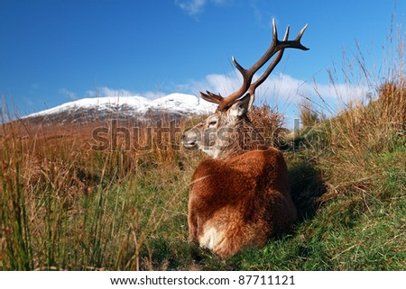 Deer Stag resting on Rannoch moor with the Black mount mountains in the distance. - stock photo