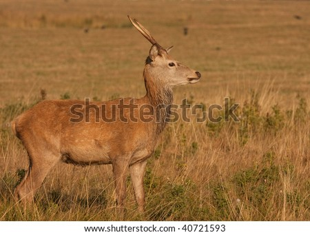 Deer with antlers - stock photo