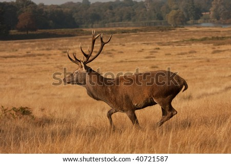 Deer with antlers, running - stock photo