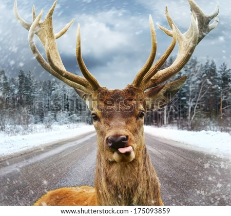 Deer with beautiful big horns on a winter country road  - stock photo