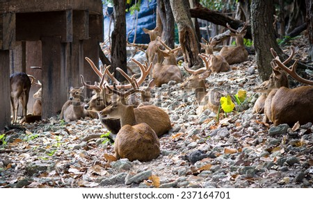 Deer With Exceptionally Long Antler at Chiang mai zoo, Thailand / Young deer With Exceptionally Long Antlers / Young deer With Exceptionally Long Antlers (animal, deer, background)  - stock photo
