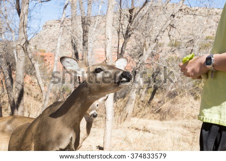 Deer with fawn begging lettuce from  Palo Duro Canyon State Park visitors,  Texas, USA - stock photo