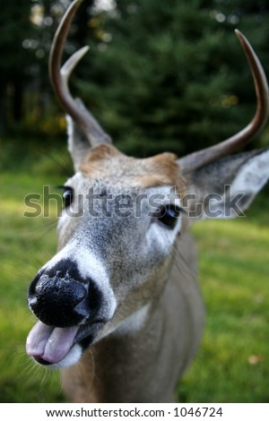 Deer with Tongue Hanging Out - stock photo