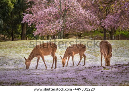 Deers at Nara park during a sunny day in the cherry blossom season, Japan.
