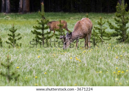 Deers in Yellowstone National Park - stock photo