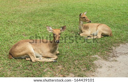 Deers lying on green grass field - stock photo