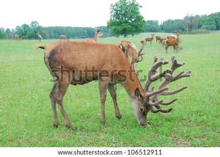 Deers on the pasture - stock photo