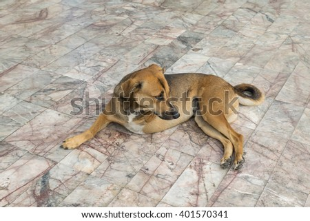 Defect Thai brown dog with three legs - stock photo
