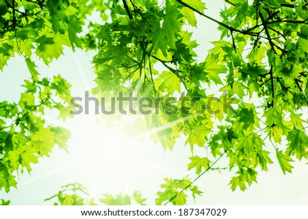 defocus background  with nature spring maple trees leaves and sun beam  - stock photo