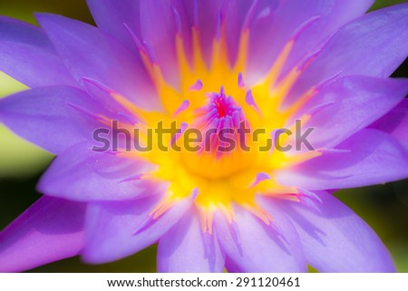 defocus purple lotus blooming in the pond - stock photo