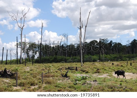 Deforestation in Brazil, cattle grazing at a ranch where burned trees and the edge of the rainforest are still visible - stock photo