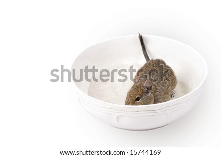degu during the sandy bath - stock photo