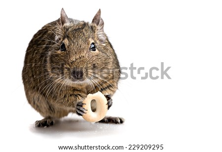 degu mouse gnawing bake isolated on white background - stock photo