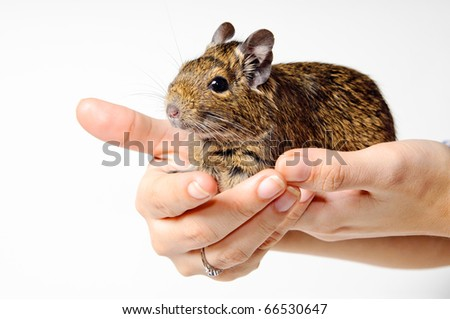 Degu on hand - stock photo