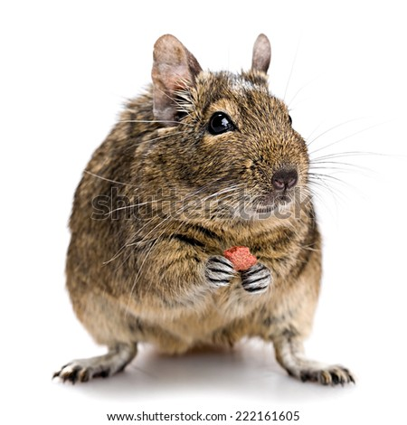 degu pet closeup isolated on white - stock photo