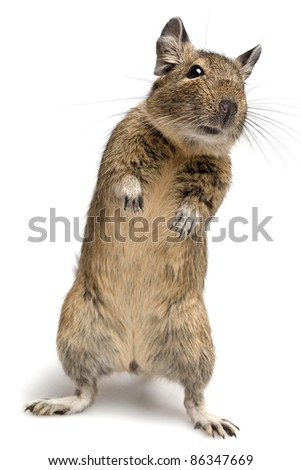 degu pet in standing pose isolated on white