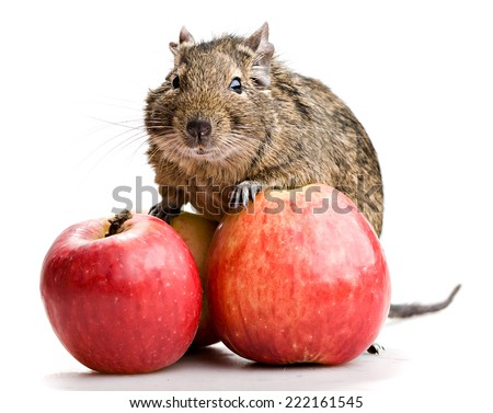 degu pet with two red apples isolated on white background - stock photo