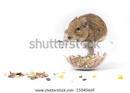 degu pilfers the food - stock photo