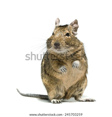 degu rodent pet with tear in eye, full-length closeup isolated on white background - stock photo